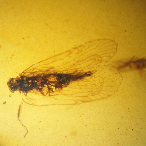 Burmese Amber with 2 Dino Age Wasp Inclusions! Comes with 4x Magnifying Case!