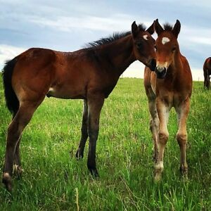 AQHA Be Aech Enterprise, Hollywood Dun It Filly