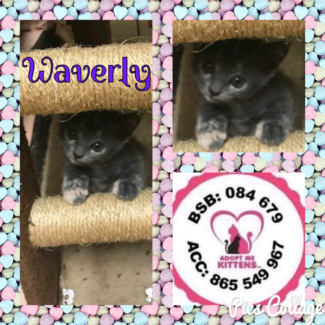 Waverly (Adopt me Kittens)