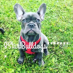 Quality French bulldogs for SALE NOW