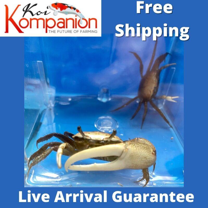 Fiddler Crab (Hardy) Koi Kompanion Free Shipping