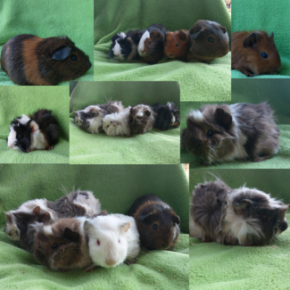 🐰SPECIALIZE BABY GUINEA PIGS  QUALITY CARE EXPERIENCED BREEDER
