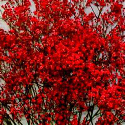 Beauitiful Rare Bright Red Baby's Breath!  20 Seeds ! Comb.S/H! SEE OUR STORE! - Baby Sh