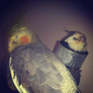 Facebook Group for Cockatiel Owners Sydney City Inner Sydney Preview