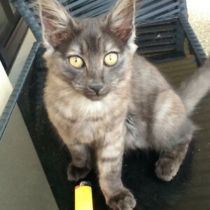 2 kittens Upper Coomera Gold Coast North Preview