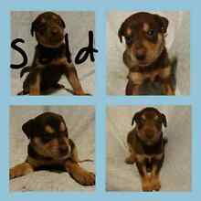 Red cloud kelpie puppies Ingham Hinchinbrook Area Preview