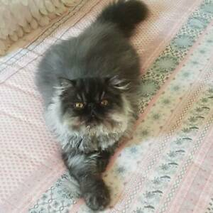 Black Smoke Persian