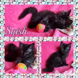 Sqish (Adopt me Kittens)