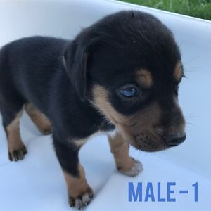 Pure bred Catahoulas Gympie Gympie Area Preview