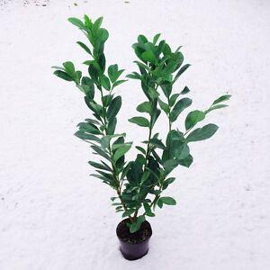 Kirschlorbeer 100-125cm Prunus Rotundifolia