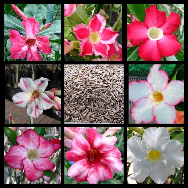 50+ Adenium Obesum desert rose seeds Rosa Del Desierto US SELLER