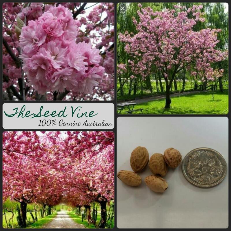 Cherry Blossom or Prunus serrulata seeds