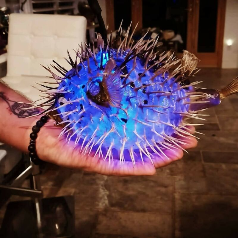 9 Inch Real Puffer Fish Lamp Color Changing LED Light Tiki Pirate Bar Man Cave