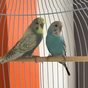 Looking for young budgerigar