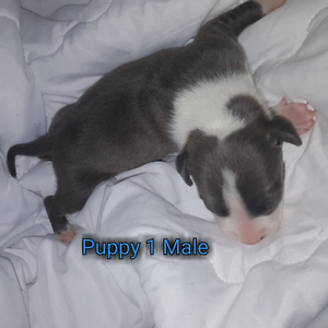 Blue American Staffy pups for sale Woongarrah Wyong Area Preview