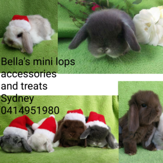🎅🥕MINI LOP PUREBRED BLUE EYES CHRISTMAS EVE SECURE NOW