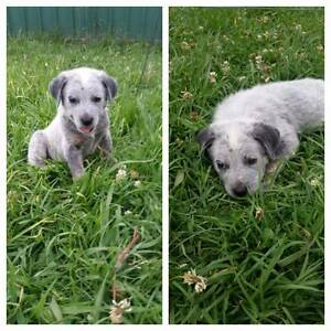 2 blue heeler cattle pups Singleton Heights Singleton Area Preview
