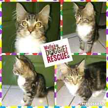 Rescue kitten needs a forever home Rutherford Maitland Area Preview