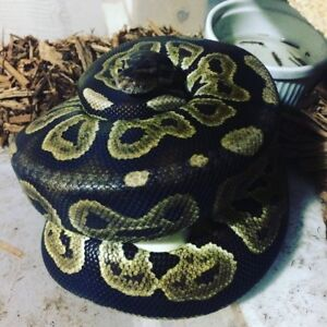 Proven breeders ball python