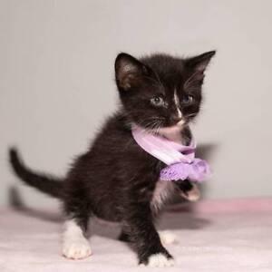 PEPPA (IF066-18) - rescue kitten - *Vet Work Included*