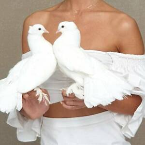 LARGE WHITE INDIAN FANTAILS PIGEONS