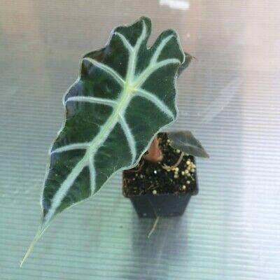 Alocasia 'polly' - Aroid - House plant