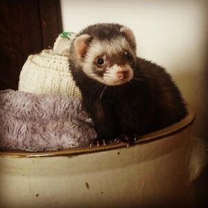 Ferret to re home.