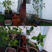 Ficus plants in pot/bonsai pot/terracotta pot North Perth Vincent Area Preview