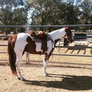 HSH ASH PINTO GELDING Moree Moree Plains Preview