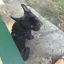 Frenchie X Pug for sale Mosman Mosman Area Preview
