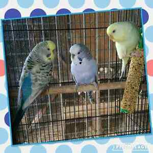English Bred Budgies Harrisville Ipswich South Preview