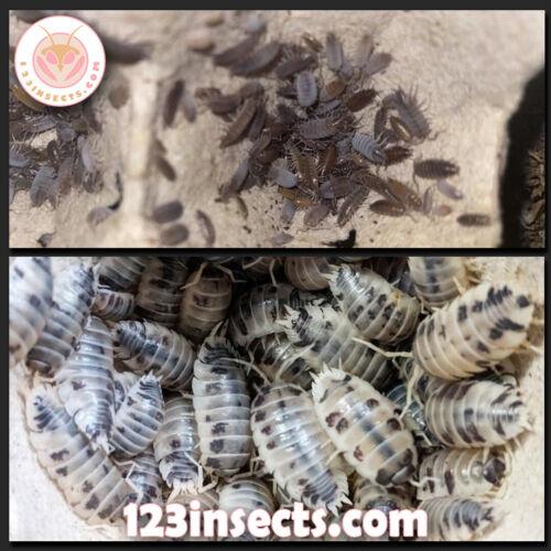10+ Dairy Cow & 15+ Powder Blue Isopods *Free Shipping* Vivarium Clean Up Crew