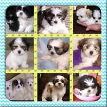 MALTESE X SHIH TZU PUPPY WANTED Adelaide CBD Adelaide City Preview