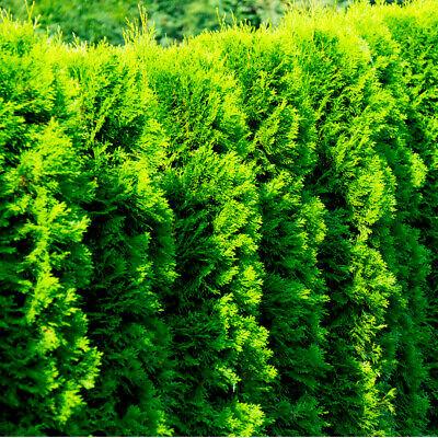 25 Western Red Cedar /Thuja 'Gelderland' in 9cm Pots Evergreen Hedging