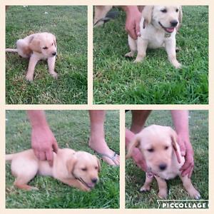Labrador x retriever puppies Echuca Campaspe Area Preview