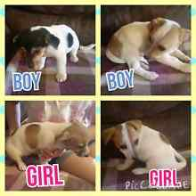 Jack Russell Puppies $400 Willmot Blacktown Area Preview