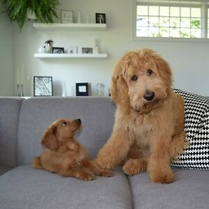 Looking for 2+ year old female doodle