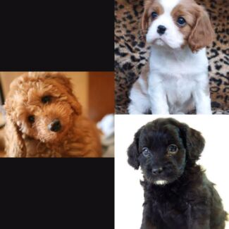 Wanted to buy : female cavalier, cavoodle or labradoodle puppy Armidale 2350 Armidale City Preview
