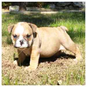 Aussie Bulldog Puppy Cannington Canning Area Preview