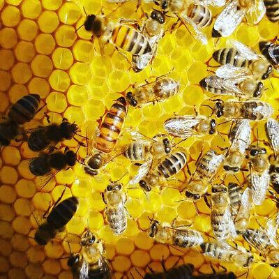 Inseminated Queen Bees - Carnica Carniolan Italian Ligustica Carpathian