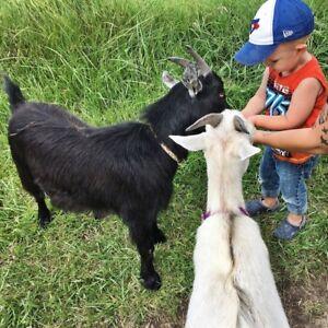 2  Pygmy Goats
