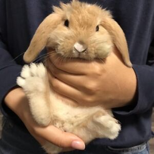 Pure bred holland lop bunny (Female)