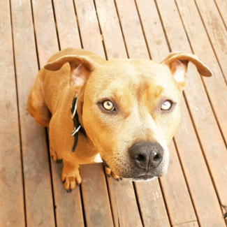 Zeus Pure bread tan male American Staffy 1 year 4 months 27kgs