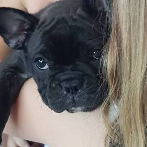 French Bulldog Pup Female ANKC registered Ready to go now