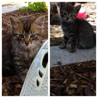 Male & Female Kittens Free to Good Homes!!!! Loganlea Logan Area Preview
