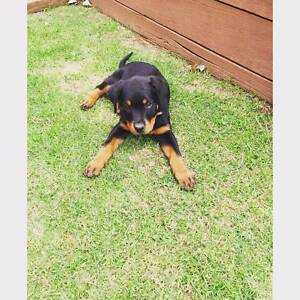 Rottweiler female Toowoomba Toowoomba City Preview