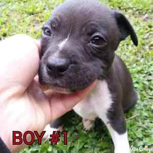 PURE ENGLISH STAFFY PUPS Caboolture Caboolture Area Preview
