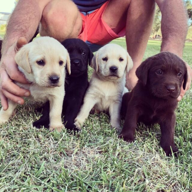 Purebred Labrador Pups Dogs Puppies Gumtree Australia Murray