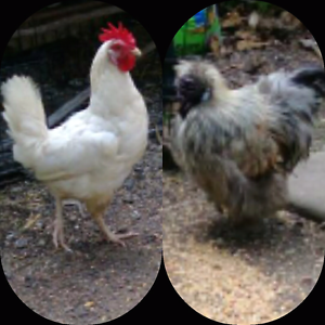 8month old leghorn chicken and silkie bantam rooster for sale. Punchbowl Canterbury Area Preview