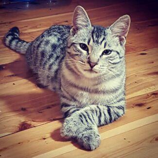 Kitten /Cat 5 months old